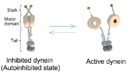 Two-state model of dynein