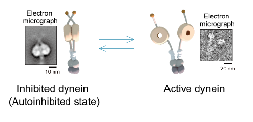 Figure 1  Two-state model of dynein